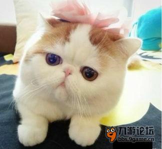 加菲猫,一个萌萌哒的妹纸,有这黄白相交的毛发,每一个人看了无不伸颈